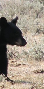 In the shadow of a black bear