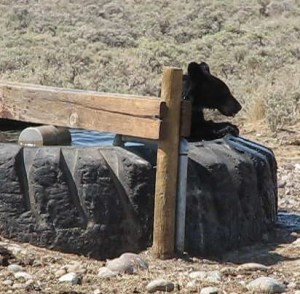 Yellowstone's Black Bear Habitat
