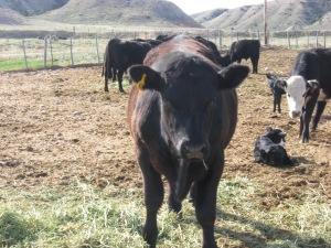Mama Cow Comedy